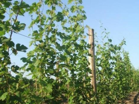 Generosa szőlővessző Eladó fotó