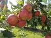 1.300.000.kg étkezési alma termés évente! Gála- 353Tonna Golden 518 Tonna