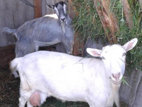 Eladó fejős kecske fotó