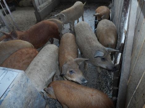 Mangalica süldő eladó - 25-30kg fotó