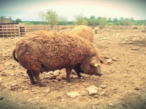 Eladó Mangalica - Duroc sertések szabadtartásból! fotó