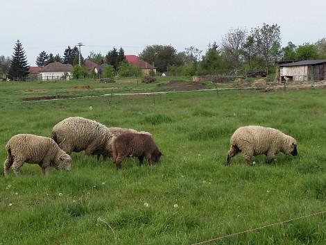 Merino juhok eladók! fotó