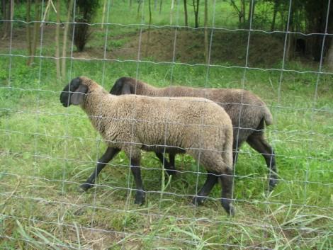 bárány eladó fotó