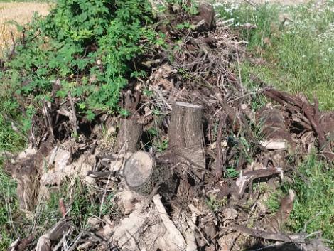 Tüzifának jó gyökérfa ingyenesen elvihető fotó