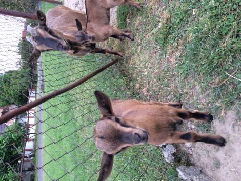 Törpe kecskék eladók! fotó
