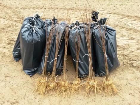 Eladó különböző fajtájú akác csemeték, továbbá fűz dugványok. fotó