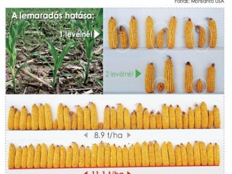 Stresszkezelés kukoricában