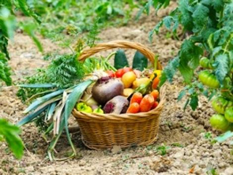 Amistar Top – Univerzális megoldás  a zöldségfélék gombabetegségei ellen