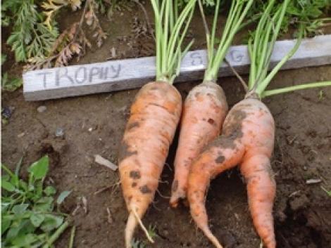 Gyökérzöldségfélék fejlődési rendellenességei