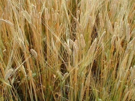Kukorica, búza, napraforgó, szója aktuális vételára