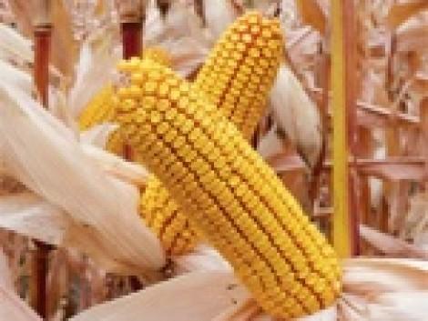 Genetikai előrehaladás a Syngenta új kukorica hibridjeivel