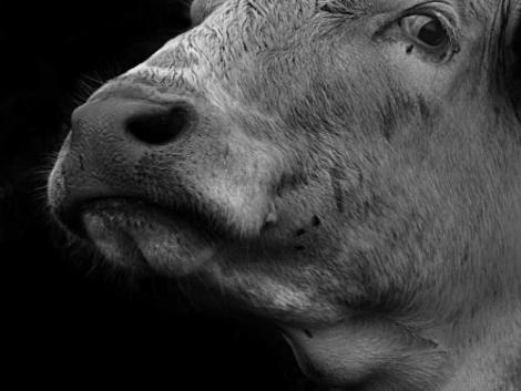 Szarvasmarha, sertés, bárány vágási- és felvásárlási árai