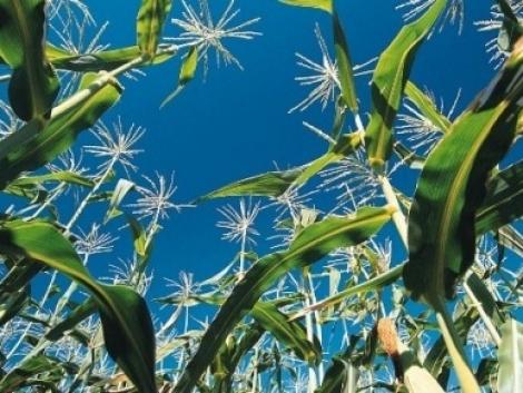 Bioüzemanyag a kukorica környezetbarát termesztésével
