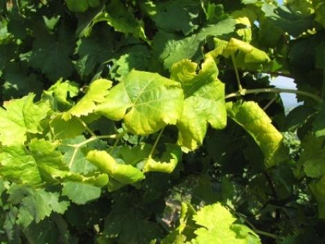 Aranyszínű sárgaság pusztítja a szőlőt