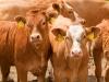 Értékmérő tulajdonságok javítása a tejelő tehenészetekben