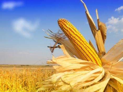 Kukorica az energianövények élén
