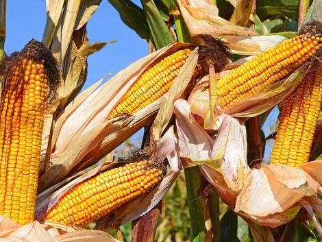 Megvan a VI. Kukorica Termésverseny győztese