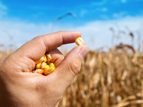 Megjelent a Kukorica Barométer legújabb száma
