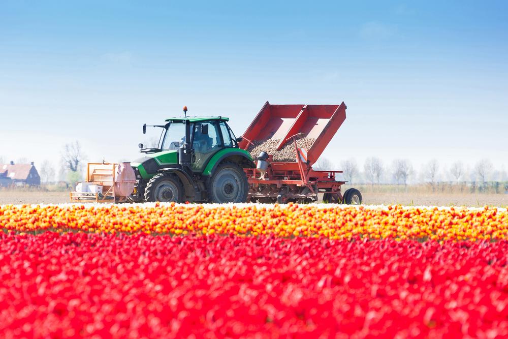 tulipántermesztés