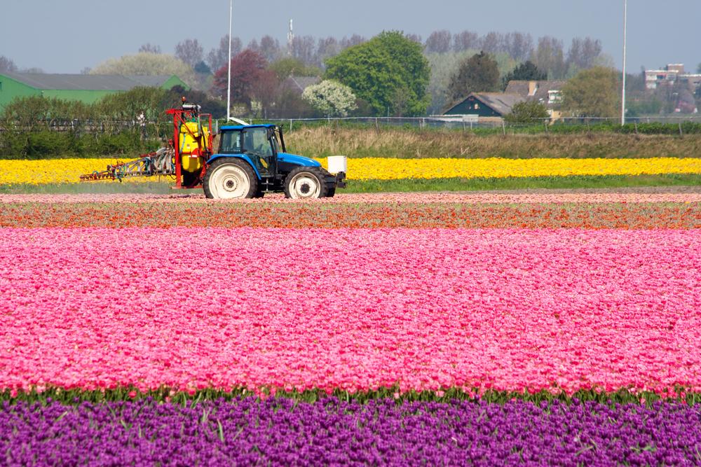 tulipánföld permetezés