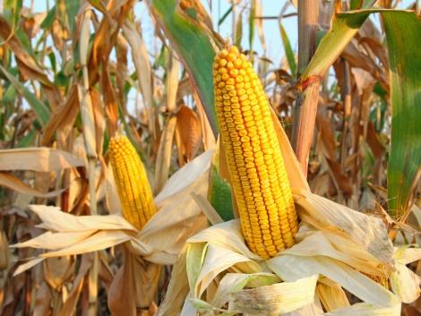 Retengo® Plus a kukoricatermesztés biztonságáért