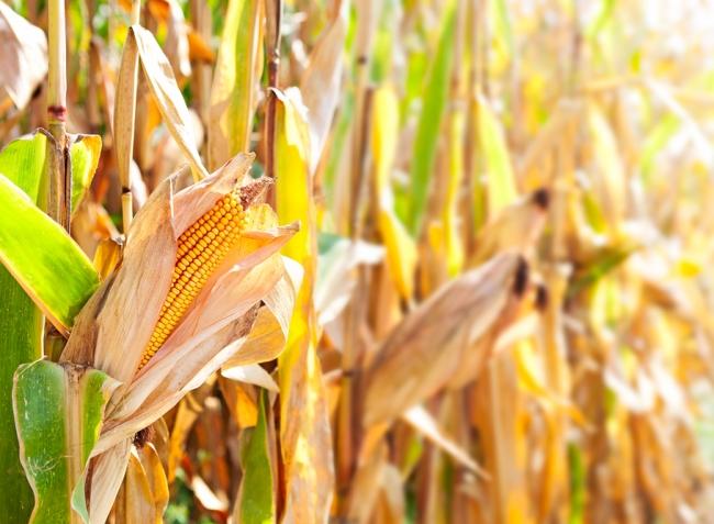 Körkép: Milyen lesz idén a kukorica?