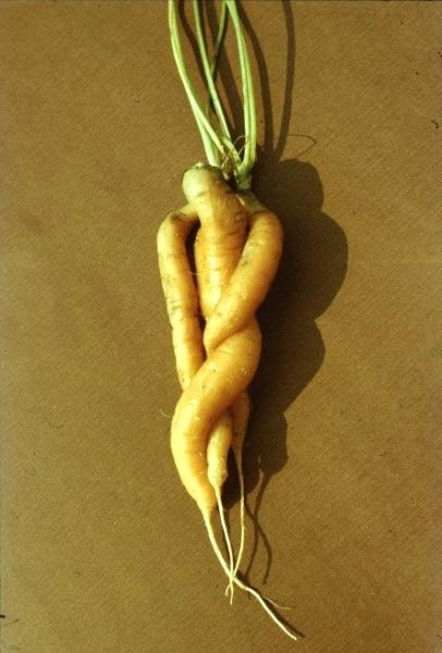 Összecsavarodott termés