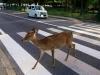 Vezess óvatosan! Őzek az utakon!