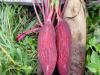 Rengeteg múlik a gyökérzöldségfélék tápanyagellátásán