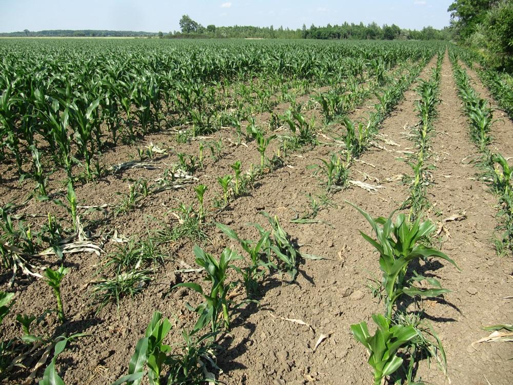 Vadkár a kukoricásban