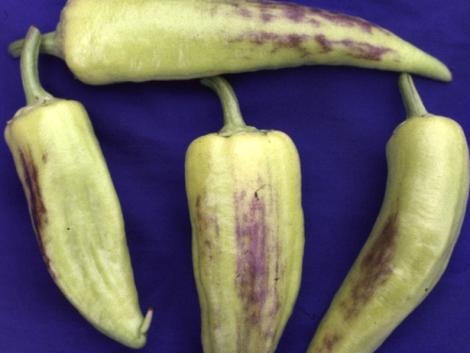 Mitől van a paprika lila foltosodása?