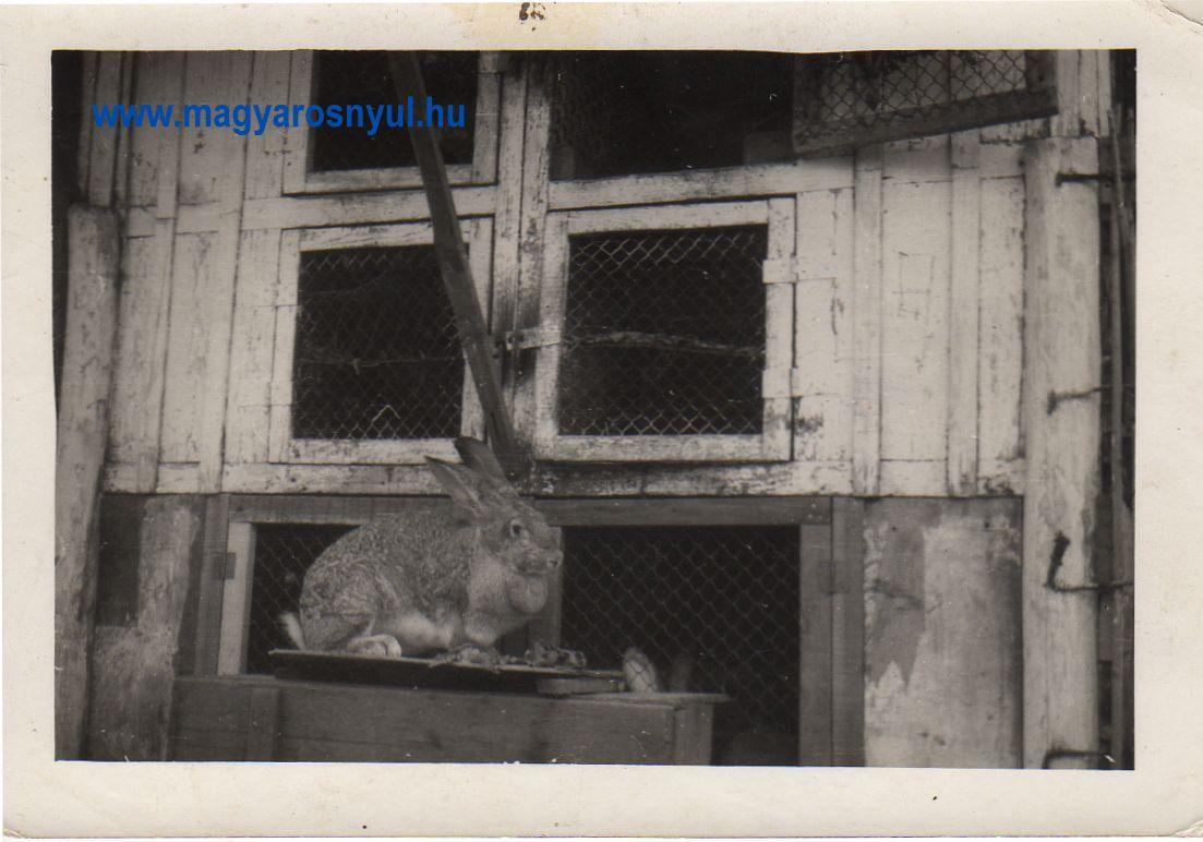 Magyar óriás nyúl fotó a régi időkből