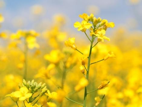 A káposztafélék a növényvédelemben is hasznunkra lehetnek