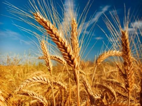 Rekordokat döntöget az EU gabonatermése