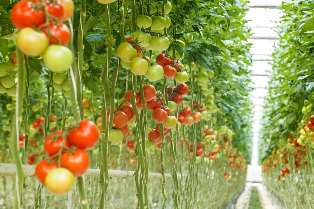 hidropónikus zöldségtermesztés