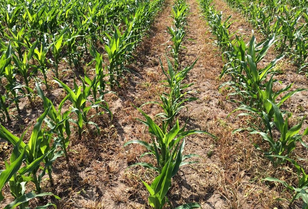 Kwizda_Pantani Overdose hatása kakaslábfűvel erősen fertőzött területen