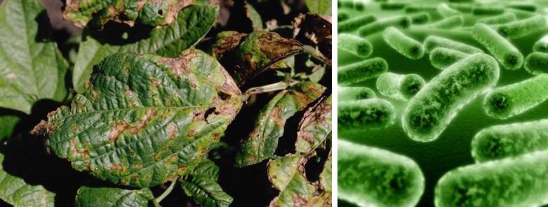 A napsugárzásnak kitetten élő növénypatogén Pseudomonas syringae kórképe és a talajban élő, UV-re érzékeny foszfor tápanyagot szolgáltató Pseudomonas putida