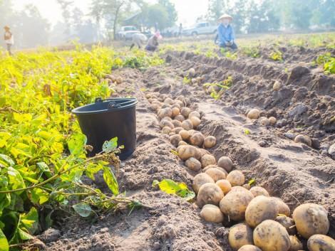 Burgonyatermesztés: a fajtaválasztással már minden eldől