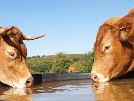 A bika a nyerő, a tehén csak selejt