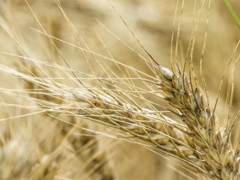 A magasabb árakra várva tartják vissza a gabonát