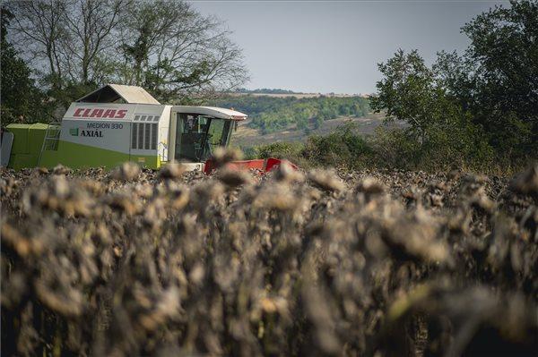 napraforgó aratás