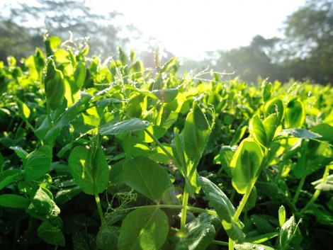 Milyen takarmánnyal lehetne pótolni a beáramló GMO-szóját?