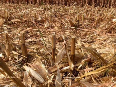 Szerves tápanyag az őszi búzának – a kukorica tarlómaradványai