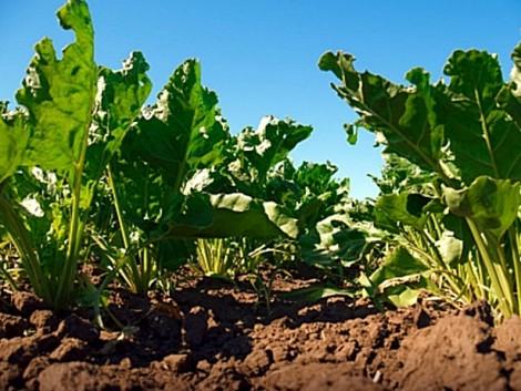 A termésmennyiség főként a csapadékviszonyoktól függ