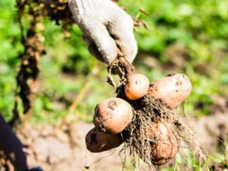 Magyar gumó tolhatja meg a tatár vállalat szekerét