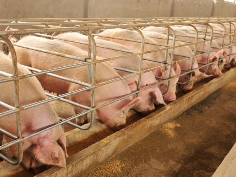 Terítéken a sertéspiac legnagyobb újdonságai