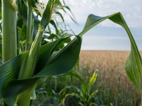 Nézze meg melyik hibrid lett a 2016-os év kukoricája!
