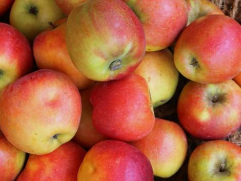 Újabb fajtájú almákat kóstolhattak a szakemberek