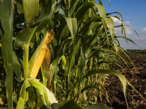 Pioneer hibridek ismét az élen a GOSZ-VSZT Kukorica Posztregisztrációs Kísérletekben!