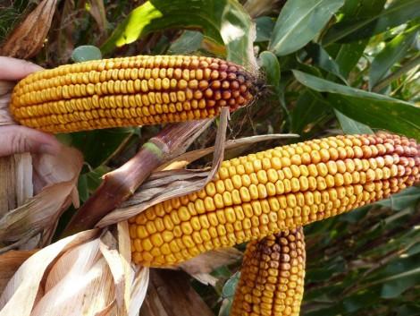 A Syngenta új generációs kukorica hibridjei